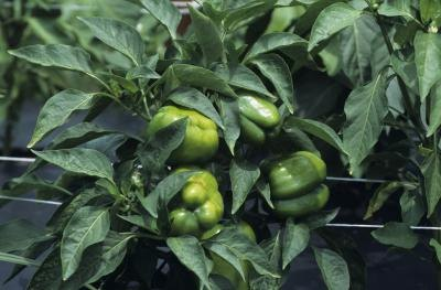 Pepper Plant Diseases Photos http://www.ehow.com/list_5923539_diseases-found-green-pepper-plants.html