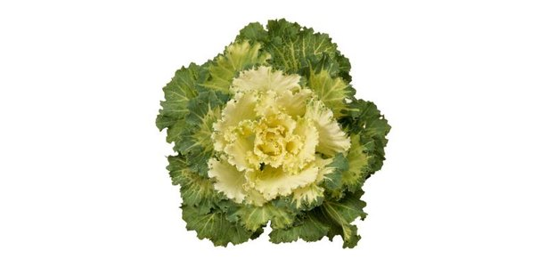 How to Grow Flowering Kale thumbnail