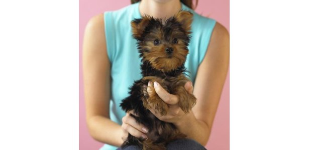 Yorkie Haircut Pictures http://www.ehow.com/how_12054701_give-yorkie-girl-haircut.html