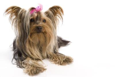 Yorkie Temperament and Care thumbnail