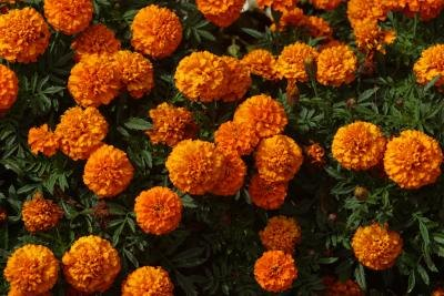 Can Marigolds Survive the Winter? thumbnail