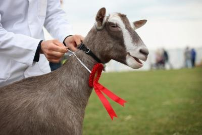 Goat Grooming Stands http://www.ehow.com/how_5949172_build-goat-grooming-stand.html