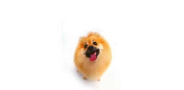 How to Groom a Show Pomeranian thumbnail