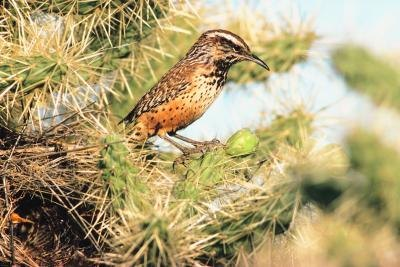 Brown Bird with Long Beak http://www.ehow.com/how_12160730_rid-cactus-wren.html