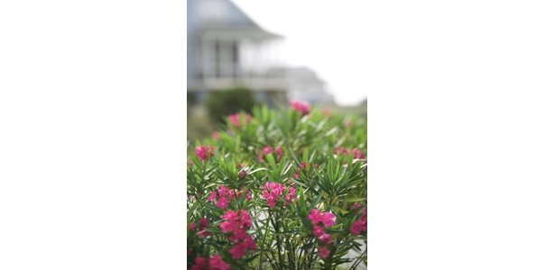 Can You Keep Oleanders Pruned Short? thumbnail