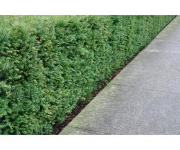 Landscape Bushes With Odor : Plants that smell like cat urine with pictures ehow