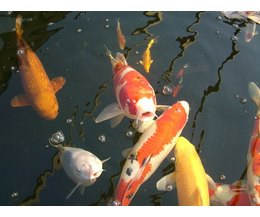 How do koi fish reproduce in freshwater ponds ehow for Koi reproduction