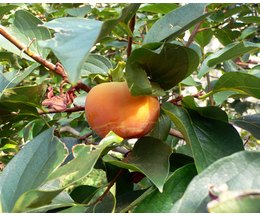 How To Grow Apple Trees In South Louisiana Ehow