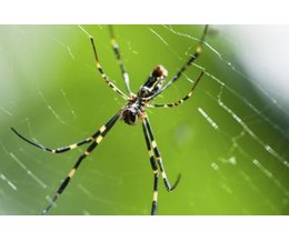 Are Black Yellow Garden Spiders Dangerous With Pictures Ehow