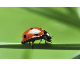 What Do Ladybugs Eat And Drink In The Winter