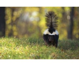 How to Get Rid of a Skunk in the Yard (with Pictures) | eHow