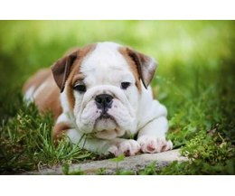 An english bulldog puppy. (Photo: onetouchspark/iStock/Getty Images)