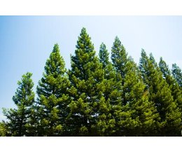 List Types of Pine Trees http://www.ehow.com/list_6523126_types-evergreen-trees-plants.html