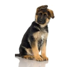 Hypoallergenic Dog Breeds And Non Shedding Breeds Dog