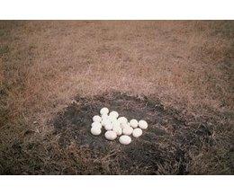 animals that lay eggs - photo #34