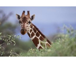 Description Of A Giraffe S Life Cycle With Pictures Ehow