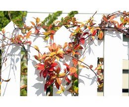Fast Growing Vines For Fences With Pictures EHow