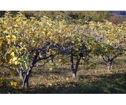 Growing Fig Trees