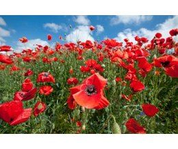 Why Are Red Poppies Worn on Veterans Day? (with Pictures ...