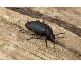 How To Identify Black Beetles With Pictures Ehow