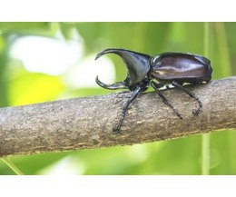Rhinoceros Beetle Life Cycle  Photo  phatthanit r iStock Getty Images Rhinoceros Beetle Life Cycle