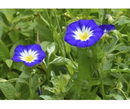 The seeds of the Morning glory plant contain hallucinogens. (Photo ...