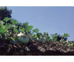 Natural pesticides for vegetable gardens with pictures Organic pesticide for vegetable garden