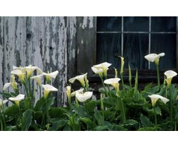How To Care For An Indoor Lily With Pictures Ehow