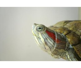 Types of Small Pet Water Turtles