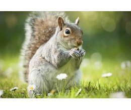 Home Remedies For Getting Rid Of Squirrels With Pictures Ehow