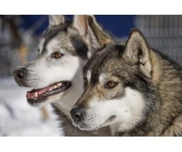 How To Tell If A Siberian Husky Is Part Wolf Ehow