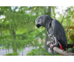 List Of Foods That An African Grey Parrot Can Eat Ehow