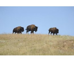 american great plains animals - photo #1