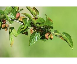 How to Identify a Mulberry Tree Leafthumbnail