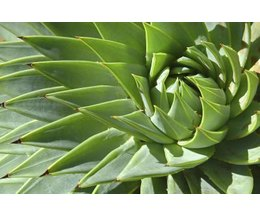 How long do aloe plants usually live ehow for Plants that live long
