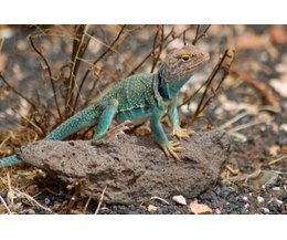 Oklahoma Lizard Identification With Pictures Ehow
