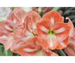 What Is The Meaning Of The Amaryllis Flower With