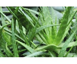 Aloe Vera S Scientific Name Amp Uses With Pictures Ehow