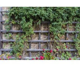 Fast growing and climbing plants for a trellis ehow for Fast growing climbing plants for screening