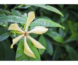 Gardenia flowers turning yellow mightylinksfo