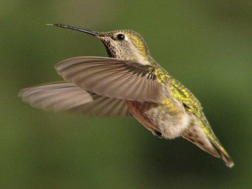 Natural Hummingbird Habitats