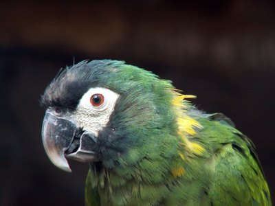 Yellow Collared Macaw Diet