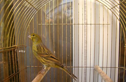 How to Make a Canary Cage