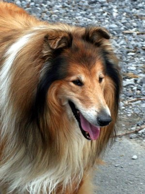 Genetic Weakness in Collies