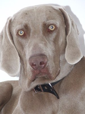 The Best Dog Foods for a Weimaraner