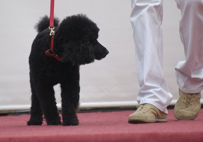 Guide to Showing at the Canadian Kennel Club