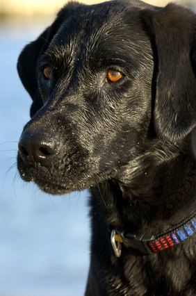 The Differences Between Flat-coated Retrievers and Labrador Retrievers