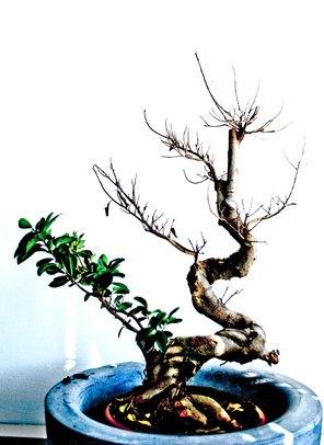 Can Cats Eat Bonsai Trees