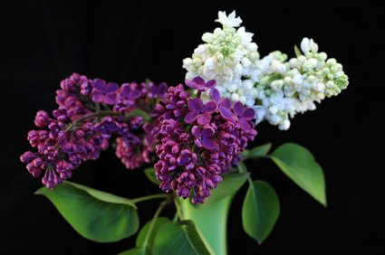 how to take care of lilacs