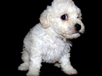 How to Choose a Poodle Puppy